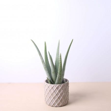 Aloe Vera 40 cm