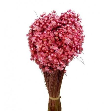 Marcela seca rosa claro