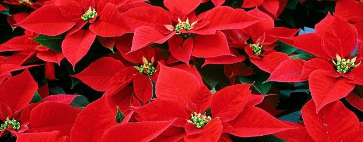 cuidados flor de navidad