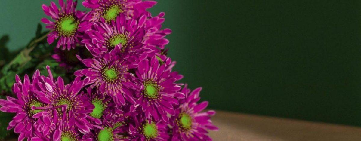margaritas moradas, flor moments