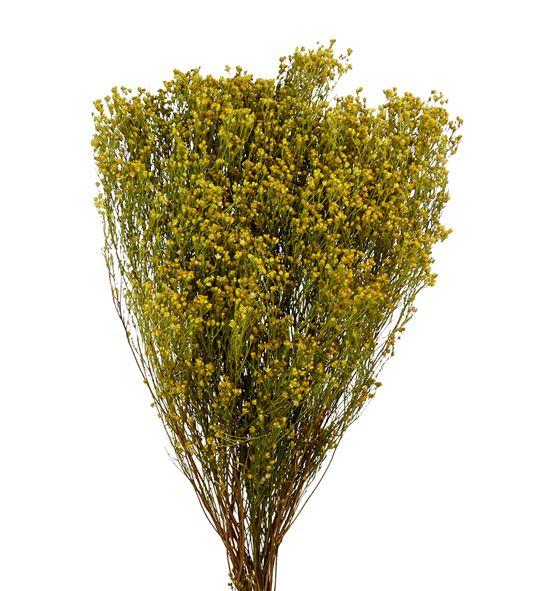 broom bloom seco
